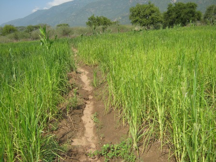 irrigated millet fields, Marakwet