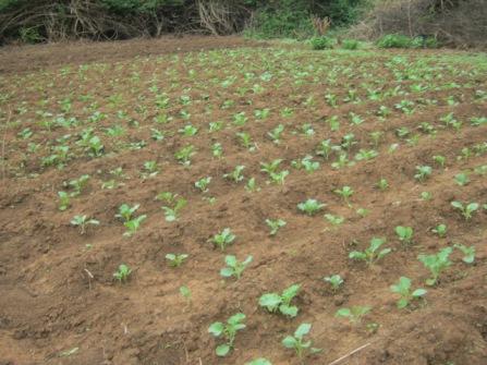 vegetable cultivation, Marakwet