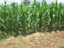 maize fields